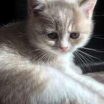 Шотландские котята, в Иванове