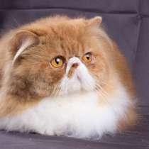 Продается персидский кот(экзот ДШ), в Санкт-Петербурге