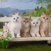 Британские котята, в Пушкине
