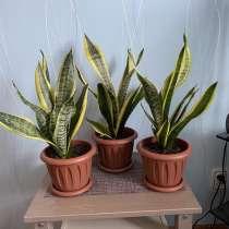 Комнатные растения Сансевиерии (Щучьи хвосты), в Кунгуре
