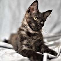 Котята Мейн Кун из питомника De Bororo, в Щелково