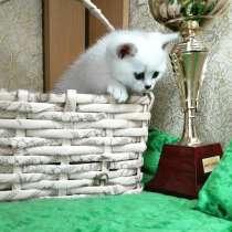 Британские котята, в Санкт-Петербурге