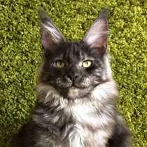 Котята Мейн-кун из питомника, в г.Хельсинки