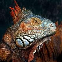 Домашний дракон, в Биробиджане