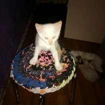 Тайский котенок редкого окраса ред-тэбби-пойнт, в Калининграде