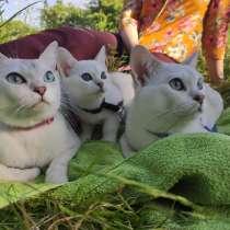 Бурмилла кошка редкой породы, в г.Минск