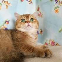 Кот золотой тикированный, вязка, в Казани