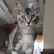 Котик мейн-кун, в г.Луганск