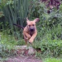 Фила бразилейро, щенки, в Дедовске