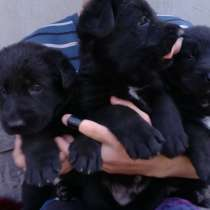 Продаются щенки немецкой овчарки, в г.Кривой Рог