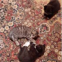 Котята от британки, в Люберцы