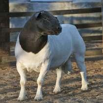 Племенные овцы Дорпер (Скот из Европы класса Элита Рекорд), в г.Ереван