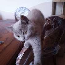 Британские котята. Britische Kätzchen, в г.Берлин