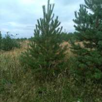 Сосна обыкновенная с корнем, в Челябинске