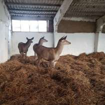 Продаются благородные олени, в Липецке