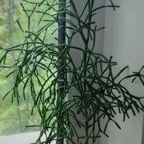 Хатиора комнатное растение, в Санкт-Петербурге