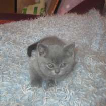 Котят британских, в г.Барановичи