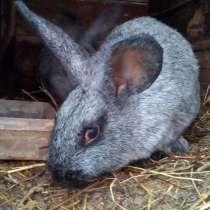 Продам кроликов, месяц жизни 200 руб. порода серебро, в Рославле