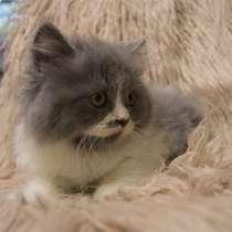 """Продаются котята от питомника """"Your Fluffy"""" породы Хайланд С, в г.Тель-Авив"""