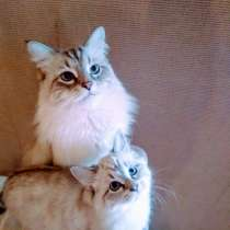 Продажа невских маскарадных котят, в Костроме