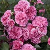 Саженцы элитных роз, в Родниках