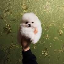 Pomeranian, в г.Милан
