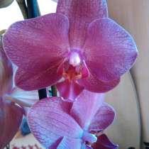 Орхидеи фаленопсисы, в г.Павлодар