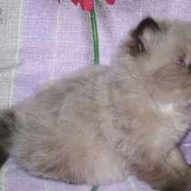 Гималайские котята, в Дмитрове