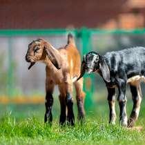 Племенные козы Англо-Нубийскиие (скот из Европы класс Элита), в г.Ереван