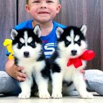 Черно-белые щеночки хаски, в Казани