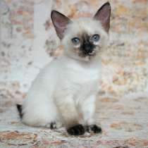 Котёнок породы Меконгский бобтейл, в Курске
