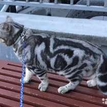 Кот на вязку 1500 котята от 2000, в Иванове