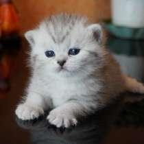 Британские котята серебро, в Москве