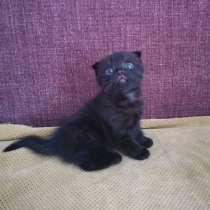 Шотландский прямоухий кот вязка, в Набережных Челнах