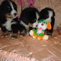 Продаются щенки Бернского зенненхунда, в Москве