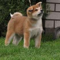 100% щенок. акита-ину. (хатико), в г.Витебск