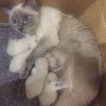 Тайские котята, в г.Гродно