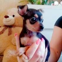 Продам щенка той терьера, в г.Тбилиси