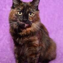 Продам котенка Курильского бобтейла во Владивостоке, в Владивостоке