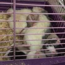 Продам крысят дамбо, атласные, хаски, чёрная мозаика, в Хабаровске