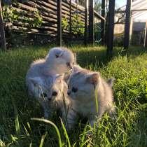 Котята котики коты шотландские шиншилла, в г.Лубны