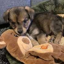 Продаётся щенок 3 месяца, в г.Берлин