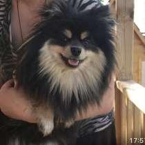 Найдена Собака породы ШПИЦ!!!!, в Воскресенске