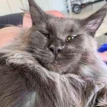 Maine Coon, 10 mois, female /Кошка мейн кун 7месяцев, в г.Лион