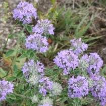 Зизифора - редкое пряное и лекарственное растение. Семена, в Томске