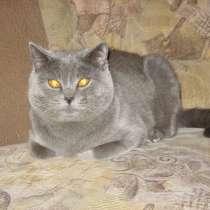 Вязка кот британец, в г.Полтава