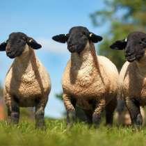 Племенные овцы Блю-де-Мейн (Скот из Европы класса Элита), в г.Ереван