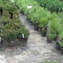 Продам елки саженцы из Катон-Карагайского питомника, в г.Астана