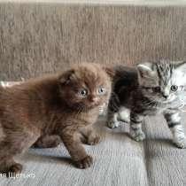 Шотландские котята, в г.Витебск
