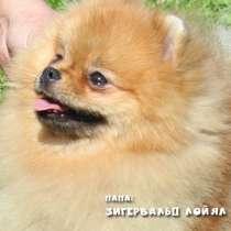 Породистые щенки Шпица с документами РКФ, в Кемерове